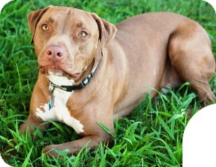 American Staffordshire Terrier/Pit Bull Terrier Mix Dog for adoption in Gilbert, Arizona - Charlie