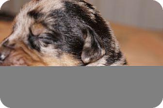 Catahoula Leopard Dog Mix Puppy for adoption in Conway, Arkansas - Maggie aka Stella 9