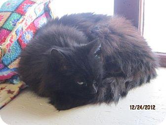 Domestic Mediumhair Cat for adoption in Sanford, Maine - Noel