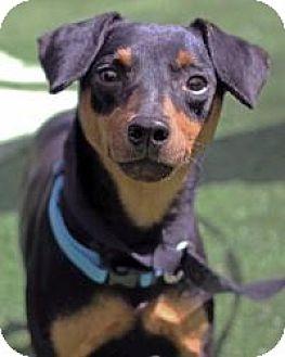 Miniature Pinscher Dog for adoption in Mount Gretna, Pennsylvania - Austin
