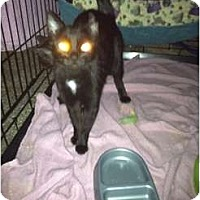 Adopt A Pet :: FEB IS ADOPT A BLACK CAT MONTH - Clay, NY