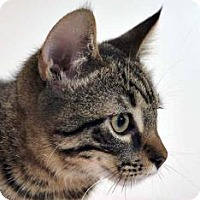 Manx Kitten for adoption in Austin, Texas - Ellsworth