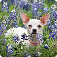 Adopt A Pet :: Marilyn Monroe - Austin, TX