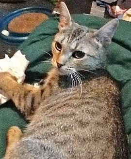 Domestic Shorthair Cat for adoption in Wheaton, Illinois - Peonie