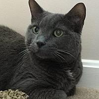 Domestic Shorthair Cat for adoption in Cincinnati, Ohio - Reba