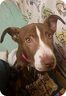 Catahoula Leopard Dog/Labrador Retriever Mix Puppy for adoption in Evensville, Tennessee - Mocha