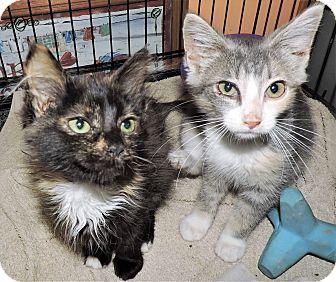 Domestic Shorthair Kitten for adoption in Rochester, Minnesota - Nattie