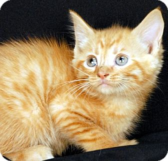 Domestic Shorthair Kitten for adoption in Newland, North Carolina - Timber