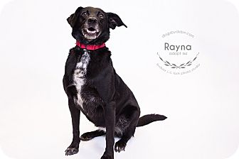 Labrador Retriever/Australian Cattle Dog Mix Dog for adoption in Kansas City, Missouri - Rayna