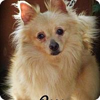 Adopt A Pet :: Pow - Anaheim Hills, CA