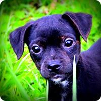Adopt A Pet :: Dinky - Glastonbury, CT