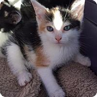 Adopt A Pet :: Ami - Furlong, PA