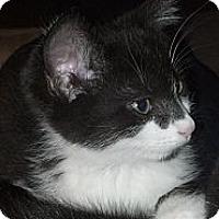 Adopt A Pet :: Bon Bon (bottle baby) - Sterling Hgts, MI