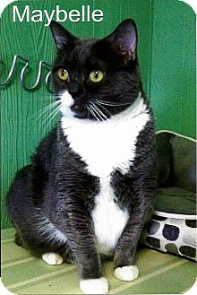 Domestic Shorthair Cat for adoption in Medway, Massachusetts - Maybelle