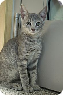 Domestic Shorthair Kitten for adoption in Prince George, Virginia - Crouton