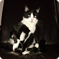 Domestic Shorthair Cat for adoption in Ashland, Virginia - Socks