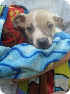 Chihuahua/American Staffordshire Terrier Mix Puppy for adoption in Old Bridge, New Jersey - Gin