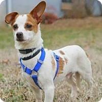 Adopt A Pet :: Half Pint - Fairfax Station, VA