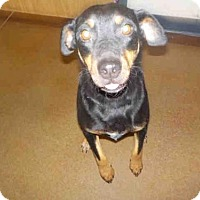 Adopt A Pet :: BELLE - Temple, TX