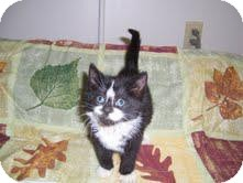 Domestic Shorthair Kitten for adoption in East Brunswick, New Jersey - Tock