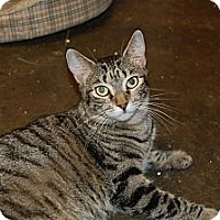 American Shorthair Cat for adoption in Jackson, Mississippi - Seuss
