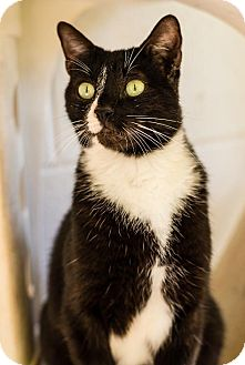 Domestic Shorthair Cat for adoption in Fairhope, Alabama - Micheal