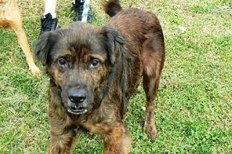 Labrador Retriever Mix Dog for adoption in Silver Spring, Maryland - Hercules