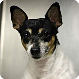 Chihuahua/Rat Terrier Mix Dog for adoption in Kingsland, Texas - Lucky