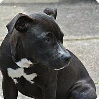 Pit Bull Terrier/Labrador Retriever Mix Dog for adoption in Houston, Texas - Benny - Courtesy Post