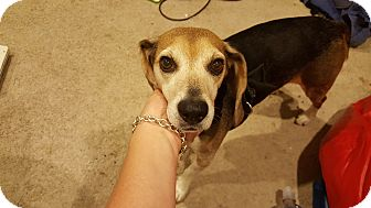 Beagle Mix Dog for adoption in Sparta, New Jersey - Soyer - Courtesy Listing