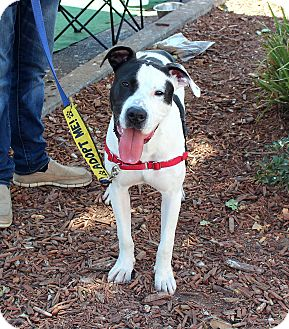 Great Dane/American Pit Bull Terrier Mix Dog for adoption in Yuba City, California - Tai