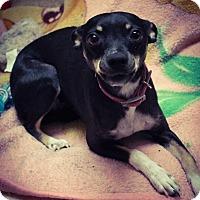 Adopt A Pet :: Sassy - Odessa, TX