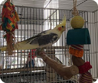 Cockatiel for adoption in Punta Gorda, Florida - Samson,Delihla,Sparky