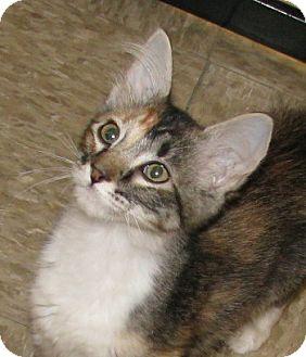 Domestic Shorthair Kitten for adoption in Tulsa, Oklahoma - Patience
