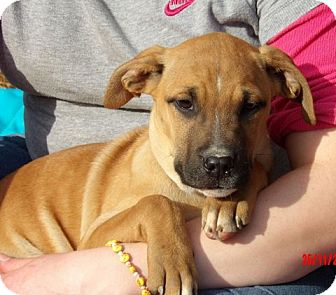 Great Dane/Shepherd (Unknown Type) Mix Puppy for adoption in West Sand Lake, New York - Thena (14 lb) Pretty Pup!