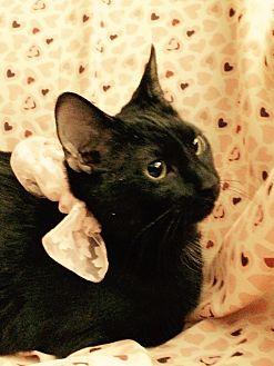 Domestic Shorthair Kitten for adoption in Carlisle, Pennsylvania - Georgia