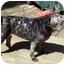 Photo 3 - Pug Dog for adoption in Edmeston, New York - Cleo-NY