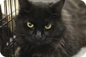 Domestic Longhair Cat for adoption in Sacramento, California - Ziggy