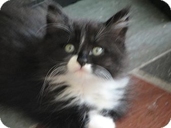 Domestic Longhair Kitten for adoption in Southington, Connecticut - Figaro