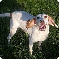 Spaniel (Unknown Type)/Hound (Unknown Type) Mix Dog for adoption in Orange Lake, Florida - Missy