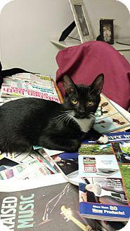 Domestic Shorthair Kitten for adoption in Media, Pennsylvania - Widget (Christmas Special)