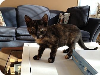 Domestic Shorthair Kitten for adoption in East Hanover, New Jersey - Shirley