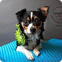 Adopt A Pet :: Lucy Lake - Shawnee Mission, KS