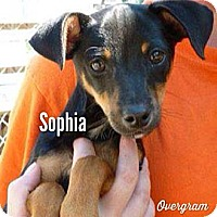 Adopt A Pet :: Sophia - Shirley, NY