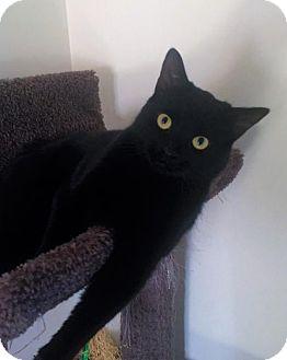 Domestic Shorthair Cat for adoption in Richmond Hill, Ontario - Vesper-*URGENT*
