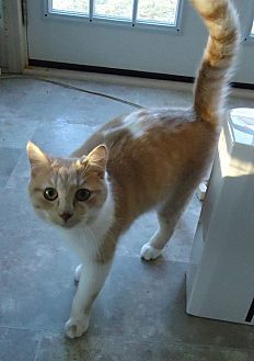 Domestic Shorthair Cat for adoption in Speedway, Indiana - Nate