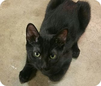 Domestic Shorthair Cat for adoption in Yorba Linda, California - Decker