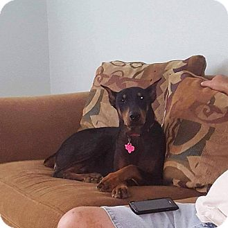 Doberman Pinscher Dog for adoption in Fort Worth, Texas - Greta