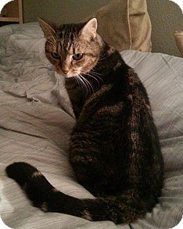 Domestic Shorthair Cat for adoption in Hurricane, Utah - ROSEMARY
