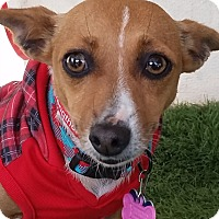 Jack Russell Terrier/Chihuahua Mix Dog for adoption in San Diego, California - Torry